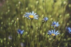 Marguerite bleue Image stock