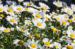 Marguerite blossoms Royalty Free Stock Photos