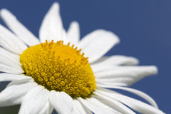 Marguerite with blue sky Stock Photos