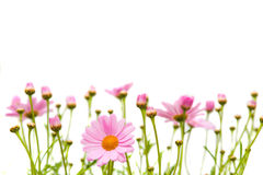 Marguerite border Royalty Free Stock Images
