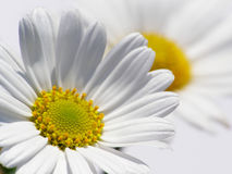 Marguerite branco imagem de stock royalty free