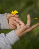 Marguerite in childs hand royalty free stock image
