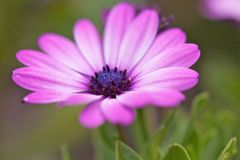 Marguerite closeup Stock Images