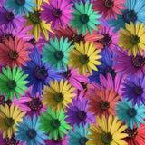 Marguerite colorée multi Image libre de droits