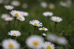 Marguerite commune au printemps photo stock