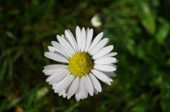 Marguerite commune (perennis de Bellis) Photos stock