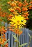 Marguerite d'automne et baies oranges Images libres de droits