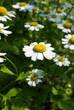 Marguerite d'herbe Photographie stock