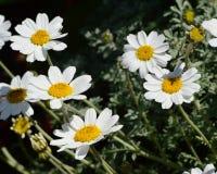Marguerite Daisies branca Imagem de Stock Royalty Free