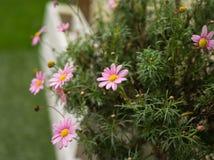Marguerite Daisies cor-de-rosa imagem de stock