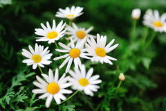 Marguerite Daisies In Garden By The Bay Stock Image