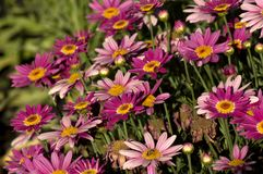 Marguerite Daisies, Kondinin, WA, Australië royalty-vrije stock foto