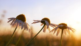 Marguerite daisies on meadow at sunset. Stock Images
