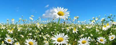 Free Marguerite Daisies On Meadow With Blue Sky At The Background. Royalty Free Stock Images - 169725239
