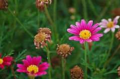 Marguerite daisies in summer in bloom. Argyranthemum frutescens cultivar or marguerite daisies in the garden, delicate little cyclamen flowers, endemic to Royalty Free Stock Photos