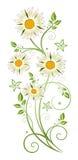 Marguerite  daisy Royalty Free Stock Image