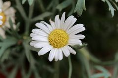 Marguerite daisy Argyranthemum frutescens. Flower of a marguerite daisy Argyranthemum frutescens bush royalty free stock image
