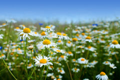 Marguerite daisy flowers Stock Photography