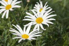 Marguerite daisy flowers in field stock photos