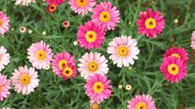 Marguerite Daisy Flowers Pink Red HD materiellängd i fot räknat stock video