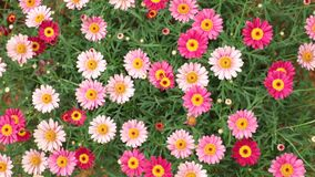 Marguerite Daisy Flowers Pink Red HD materiellängd i fot räknat stock video