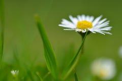 Marguerite dans l'herbe Image stock