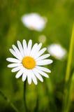 Marguerite dans l'herbe Photos stock