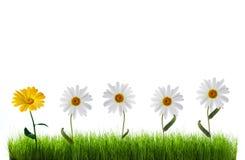 Marguerite dans l'herbe verte Photo libre de droits