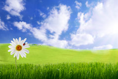 Marguerite dans l'herbe verte Photos stock