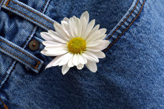 Marguerite dans la poche de denim photos libres de droits