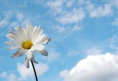 Marguerite dans le ciel Photos stock