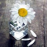 Marguerite dans le vase Images stock