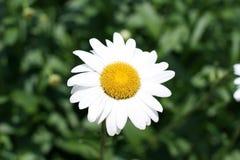 Marguerite dans un jardin Image libre de droits