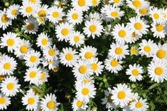Marguerite de marguerite des prés de fleurs blanches dans un groupe de groupe photographie stock libre de droits