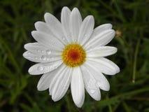 Marguerite de fleur image stock