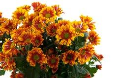 Marguerite de fleuristes Image stock