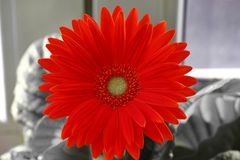 Marguerite de Gerber gerberas oranges ou rouges de fleur dans un pot de fleurs sur la fen?tre usines ? la maison, processus long  image stock