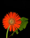 Marguerite de Gerbera Photo stock