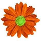 Marguerite de jaune orange de fleur de jardin d'isolement sur le fond blanc Plan rapproché Macro Élément de conception Images stock