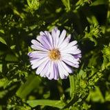 Marguerite de Michaelmas de floraison d'Européen, amellus d'aster, au parterre, macro de fleur, foyer sélectif, DOF peu profond Photos stock