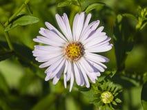 Marguerite de Michaelmas de floraison d'Européen, amellus d'aster, au parterre, macro de fleur, foyer sélectif, DOF peu profond Images libres de droits