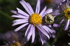 Marguerite de Michaelmas européenne (amellus d'aster) Photo stock