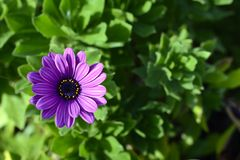 Marguerite de Purpple image stock