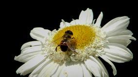 Marguerite des prés avec l'abeille 1 Photographie stock libre de droits