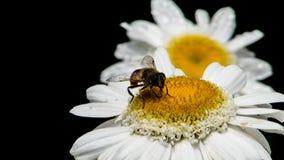Marguerite des prés avec l'abeille 2 Images libres de droits