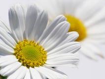 Marguerite des prés blanche Image libre de droits