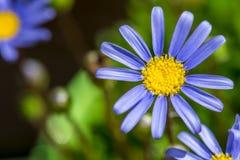 Marguerite des prés bleue Image libre de droits