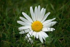 Marguerite des prés dans l'herbe Photo libre de droits