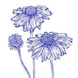Marguerite des prés de fleur Image stock