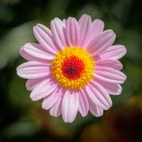 Marguerite des prés rose, fleurissant entièrement photos stock